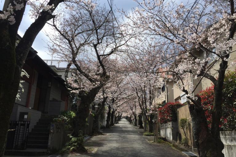 【宝塚市】サクラが美しいスポットを紹介!それぞれの開花状況を現地調査したので、報告します!