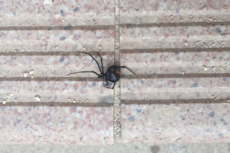 セアカゴケグモのメス