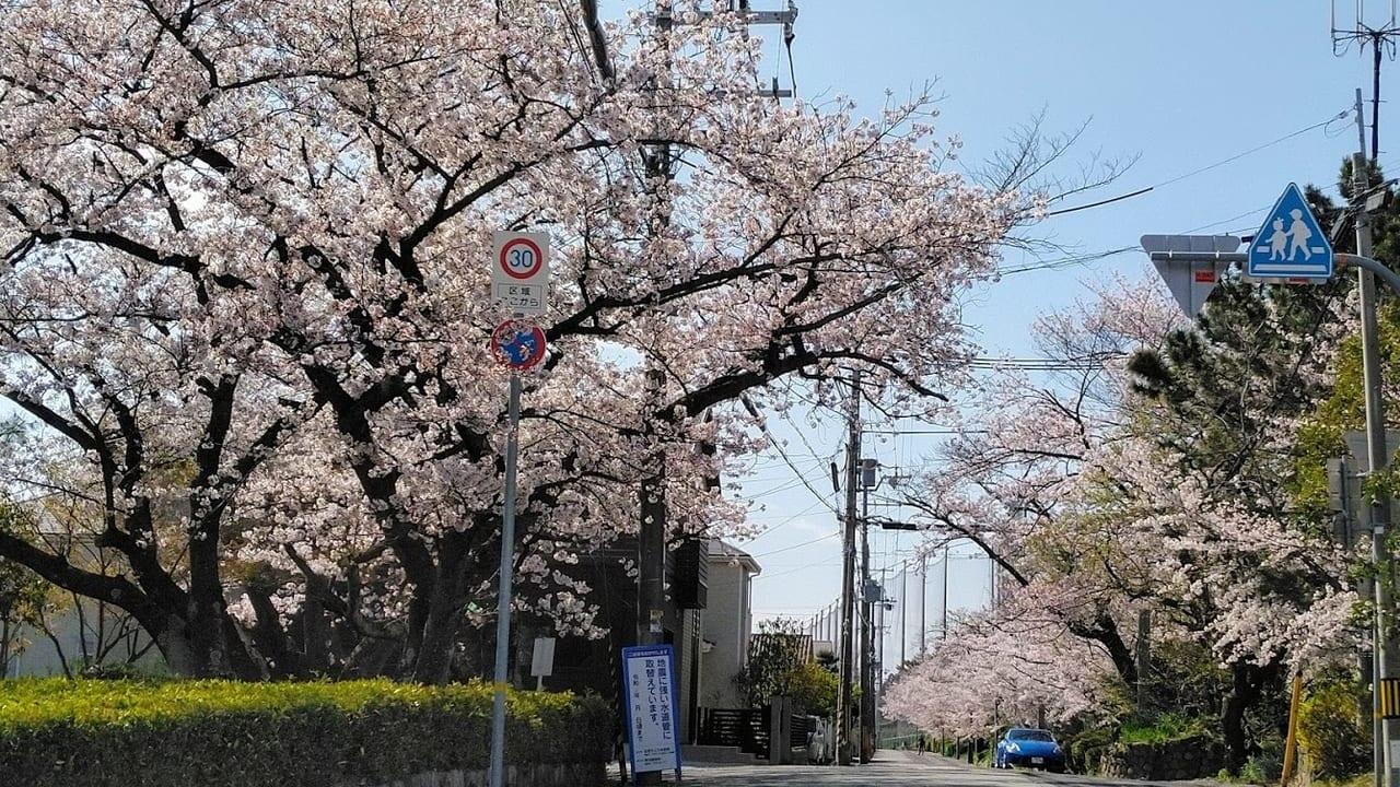 千種三角公園からの桜並木